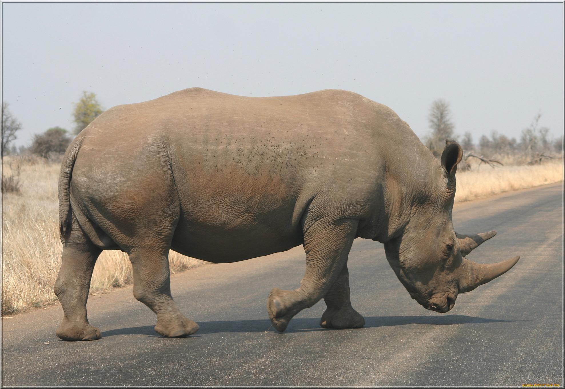 Обои носороги. Животные foto 17